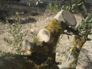 Zničené olivovníky ve vesnici Deir Sharaf, Západní břeh Jordánu, Palestina (foto: ISM)
