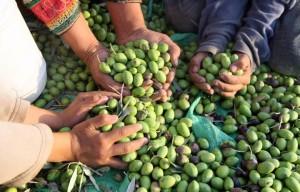 Palestine_Olives_pic_1